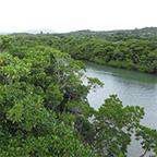 宮良橋のマングローブ