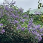 一心寺の紫雲木